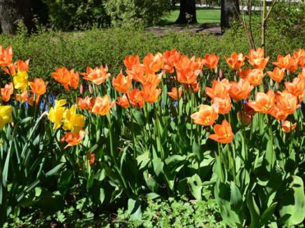 Oransseja tulppaaneja Toivo Pekkasen puistossa