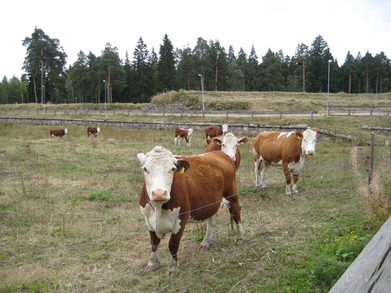 Kotkan Kyminlinnan linnoitusalueen kasvillisuutta on hoidettu kesäisin myös lampaiden, nautojen ja hevosten voimin.