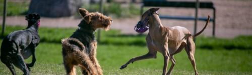 Kuvassa on koiria Katariinan tilapäisessä koirapuistossa