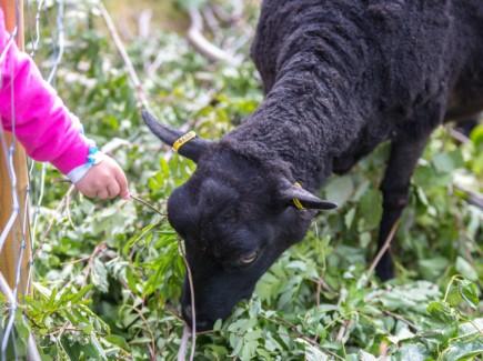 Kuvassa on musta lammas jota lapsi ruokkii.