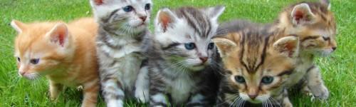Viisi kissanpentua nurmikolla