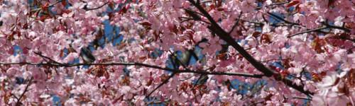 Kuvassa on rusokirsikan kukkia