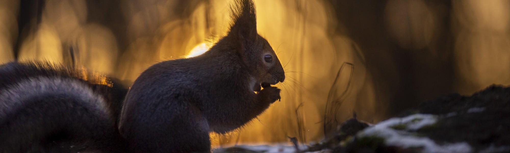 Orava Tervaleppälehdossa