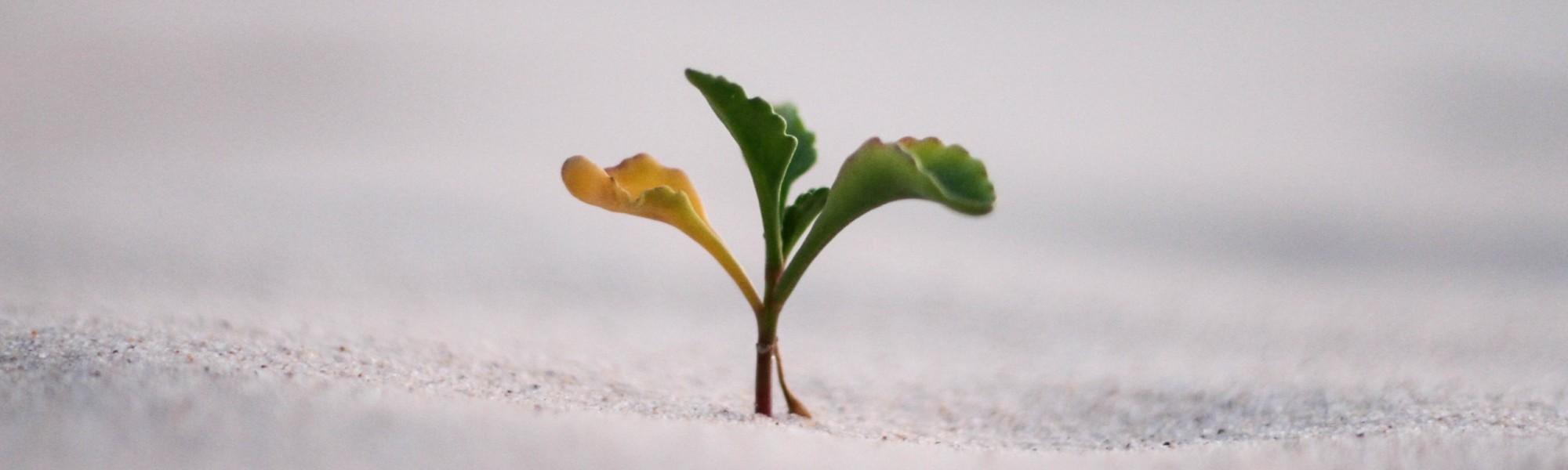 Kuvassa on pieni kasvin taimi.