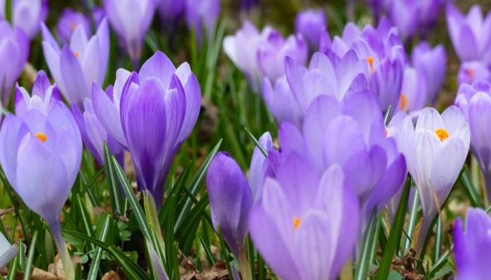 Kuvassa on lilan värisiä krookuksen kukkia.