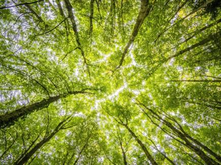 Kuvassa on alhaalta ylöspäin kuvattuna keväisen vihreänä hohtava puiden latvusto.