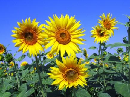 Kuvassa on auringonkukkapelto. Taivas on taustalla sinisen pilvetön.