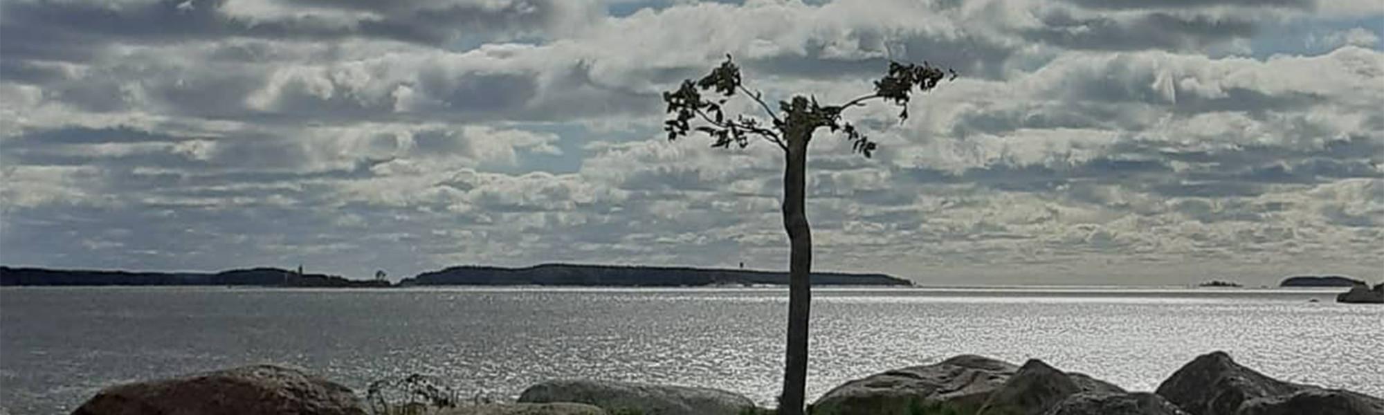 Yksinäinen saarnipuu Kuusisessa